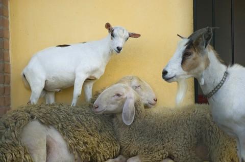 Una capra indossa stivali di gomma per proteggere le zampe - Immagini da colorare capra ...