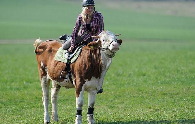 Una mucca ha imparato a saltare gli ostacoli l 39 arresto - Avere un cavallo ...