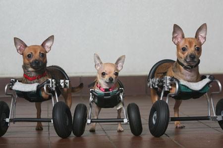 Come vivere felici con un animale disabile archivio 30 for Sedia a rotelle per gatti