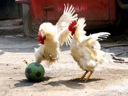 galli_calcio1.jpg
