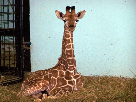 giraffa_Molly1.jpg