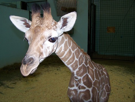 giraffa_Molly3.jpg