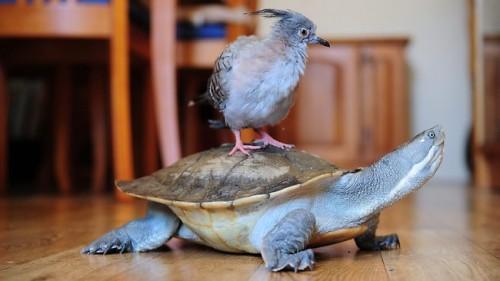 notizie animali, notizie divertenti, notizie strane, notizie commoventi, uccelli, piccioni, massaggio cardiocircolatorio per animali, piccione salvato