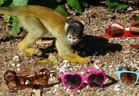 scimmie_occhiali2.jpg