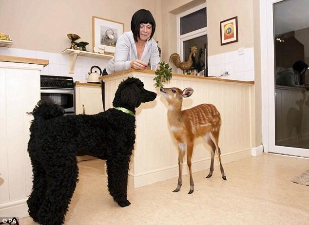 Una baby antilope ha la sua stanza in un appartamento - Amici di letto in inglese ...