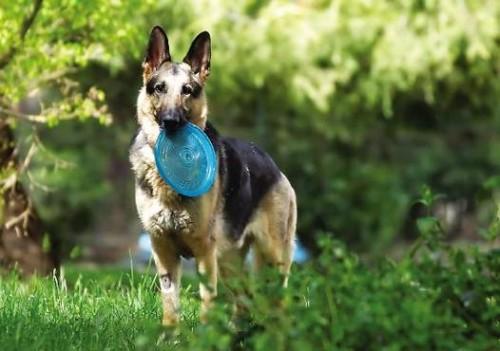 notizie animali, notizie divertenti, notizie strane, notizie commoventi, cani, pastore tedesco, cane in fuga, Houdini