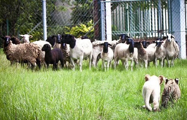 Un leoncino e un tigrotto badano a un gregge di pecore l for Piccoli progetti di ranch