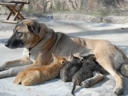 Una cagna sta allattando una cucciolata di gattini rimasti orfani. (carini!!!!!!) dans cani...CANI ????? 2067419726