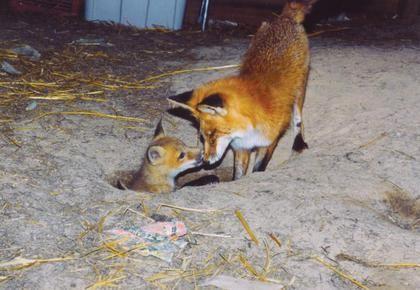 notizie animali, notizie divertenti, notizie strane, notizie commoventi, volpi, cuccioli di volpe, volpacchiotti, volpi cieche, rifugi per animali selvaggi
