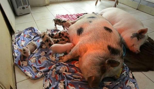 Amato Una donna dovrà dare via i 40 maiali che abitano con lei | L  MR87