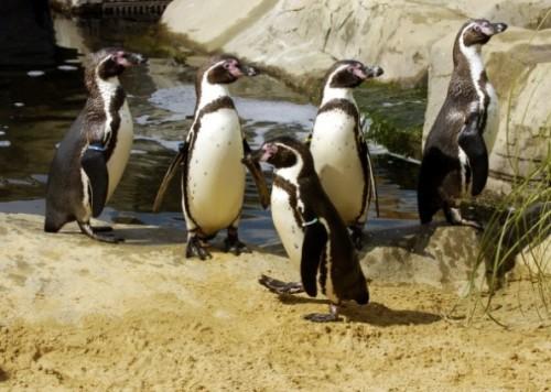 notizie animali, notizie divertenti, notizie strane, notizie commoventi, pinguin stressati, pinguini e psicofarmaci, pinguini e antidepressivi, uccelli depressi