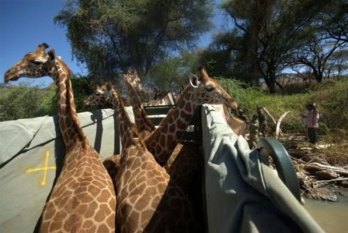 giraffe_arca3.jpg