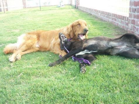 notizie animali, notizie divertenti, notizie strane, notizie commoventi, cani, golden retriever, meticci, cani da pastore, cani epilettici, cani ciechi, cani instabili