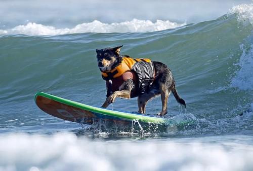 notizie animali, notizie divertenti, notizie strane, notizie commoventi, cani, cani e surf, competizione surfistica per cani, gara di surf per cani, Bay Resort Surf Dog Competition