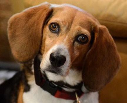 notizie animali, notizie divertenti, notizie strane, notizie commoventi, cani, beagle, Burlington-Bristol Bridge