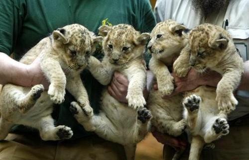 notizie animali, notizie divertenti, notizie strane, notizie commoventi, leoni, cuccioli di leone, grandi felini, leoni sterilizzati