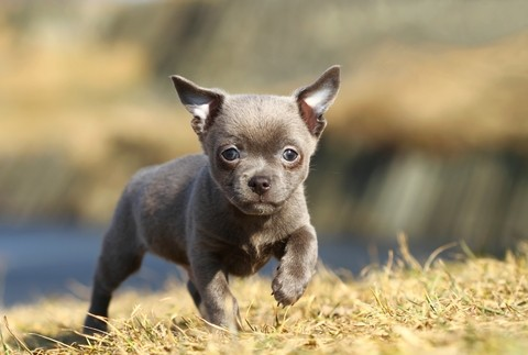 notizie animali,notizie divertenti,notizie strane,notizie commoventi,cani,chihuahua,cani disabili,cani con tre zampe,protesi per cani,zampe bioniche per cani