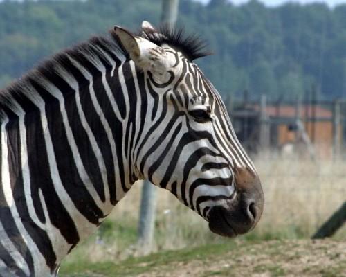 zebra_makeover1.jpg