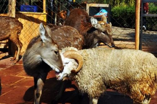 notizie animali, notizie divertenti, notizie strane, notizie commoventi, capre, mopntoni, cerci, matrimoni tra animali