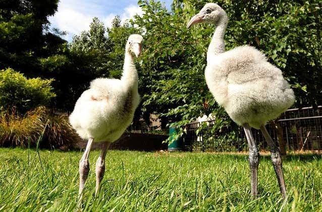 Due pulcini di fenicottero, ospiti dello zoo di Londra, sono terrorizzati dal colore rosa.  dans animali ed animaletti 1292776459