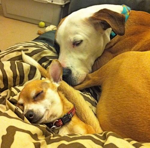 notizie animali,notizie commoventi,notizie divertenti,notizie strane, pitt bull, chihuahua, cani abbandonati, cani riabilitati, cani salvati, rifugi per cani