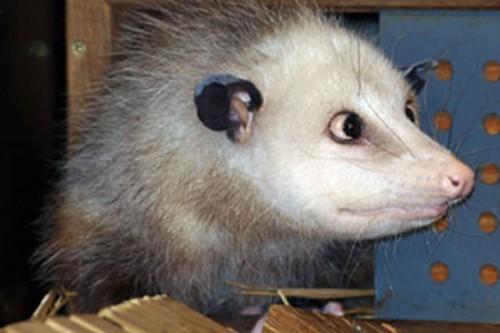 opossum_strabico3.jpg