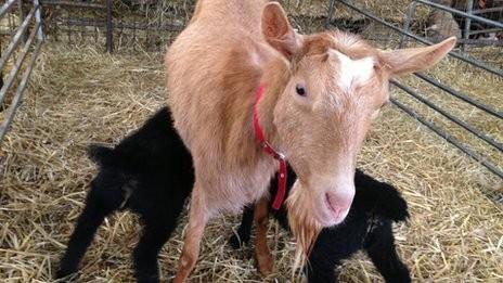 notizie animali, notizie divertenti, notizie strane, notizie commoventi, capre, agnelli, pecore, capra adotta agnelli