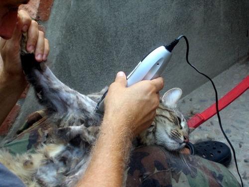 notizie animali, notizie divertenti, notizie strane, notizie commoventi, gatti, gatta rsati, gatti tosati