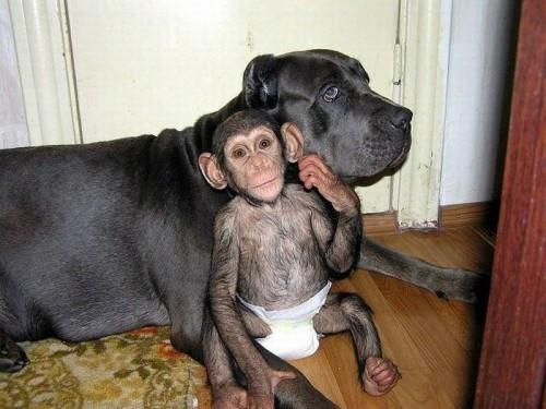notizie animali, notizie divertenti, notizie strane, notizie commoventi, cani, scimmie, mastini, scimpanzé, cane adotta scimmia