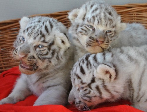 notizie animali, notizie divertenti, notizie strane, notizie commoventi, tigri, tigri del Bengala, tigri bianche del Bengala, tigri albine, cuccioli di tigre bianca del Bengala