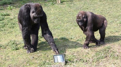 gorilla_ipad2.jpg