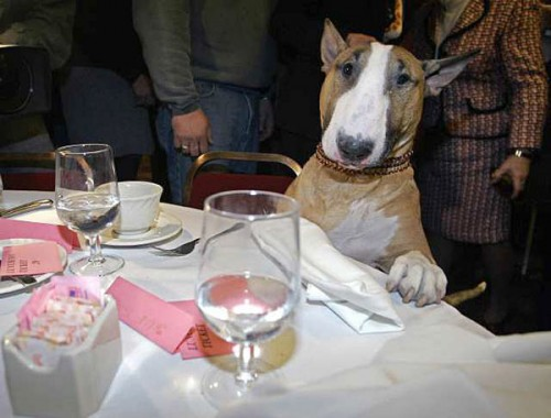 bullterrier_therapydog2.jpg