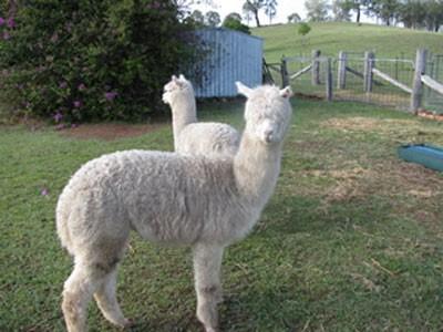 notizie animali, notizie divertenti, notizie strane, notizie commoventi, alpaca, pecore, gregge, volpi