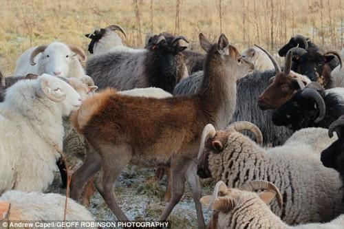 notizie animali, notizie divertenti, notizie strane, notizie commoventi, cervi, cerbiatti, pecore, mandria, gregge