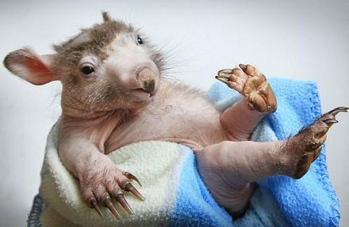 wombat_calvo1.jpg