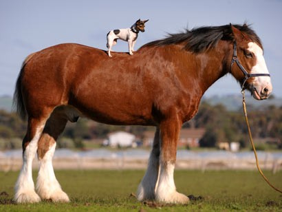 cavallo_chihuahua1.jpg