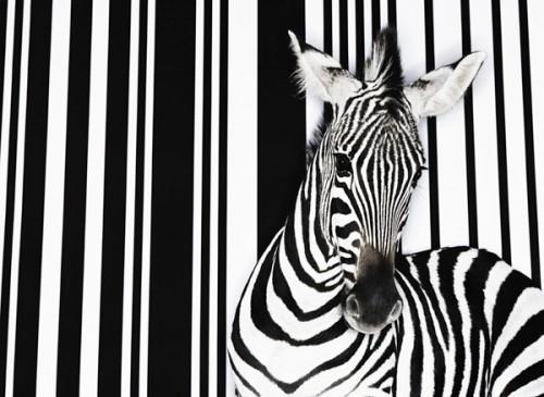 zebra_codiceabarre1.jpg