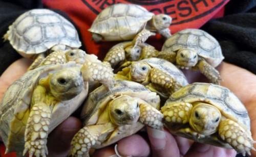 notizie animali, notizie divertenti, notizie strane, notizie commoventi, tartarughe, tartarughe African Sulcatas