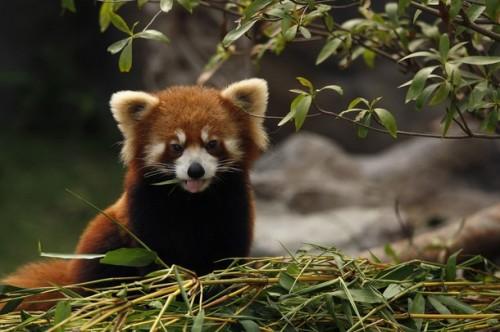 panda_cane3.jpg