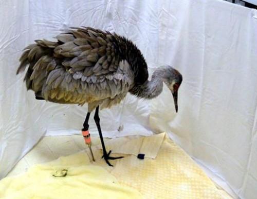 notizie animali, notizie divertenti, notizie strane, notizie commoventi, uccelli selvaggi, gru canadese, arti artificiali per animali, protesi ortopediche per animali, zampe artificiali, uccelli feriti