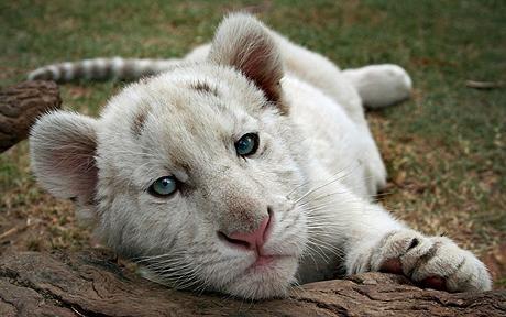 tigre_senza-strisce2.jpg