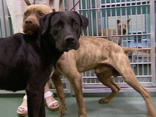 notizie animali, notizie divertenti, notizie strane, notizie commoventi, cani, pitbull, labrador, cani meticci, cani incatenati, rifugi per cani, programma di riabilitazione per cani