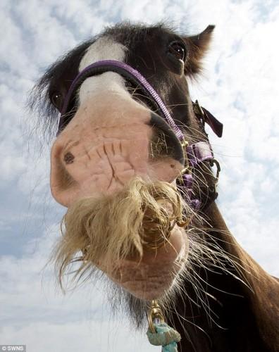 notizie animali, notizie divertenti, notizie strane, notizie commoventi, cavalli, baffi equini, cavalli baffuti, stalloni con i baffi