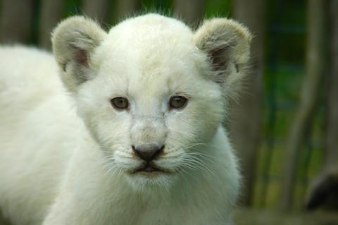 notizie animali,notizie divertenti,notizie strane,notizie commoventi,leoni,leoni bianchi,cuccioli di leone bianco,cagna allatta leoncino
