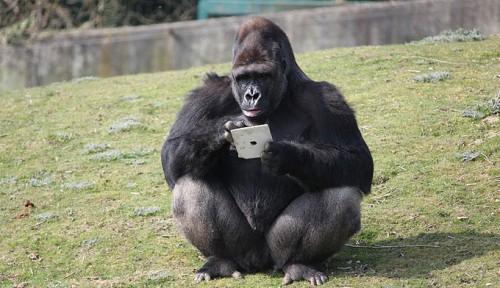 gorilla_ipad1.jpg