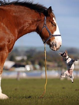 cavallo_chihuahua2.jpg