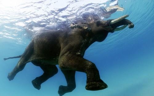 notizie animali, notizie divertenti, notizie strane, notizie commoventi, elefanti-traghetto, elefanti-taxi d'acqua, elefanti in pensione, Andaman Islands
