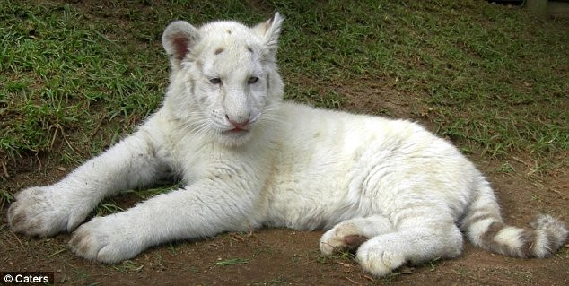 cucciola di tigre bianca del bengala nasce senza strisce. Black Bedroom Furniture Sets. Home Design Ideas
