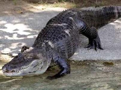 alligatore_divano2.jpg