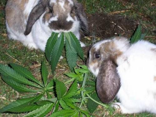 notizie animali,notizie divertenti,notizie strane,notizie commoventi,conigli,roditori,coltivazioni di cannabis,conigli e foglie di cannabis